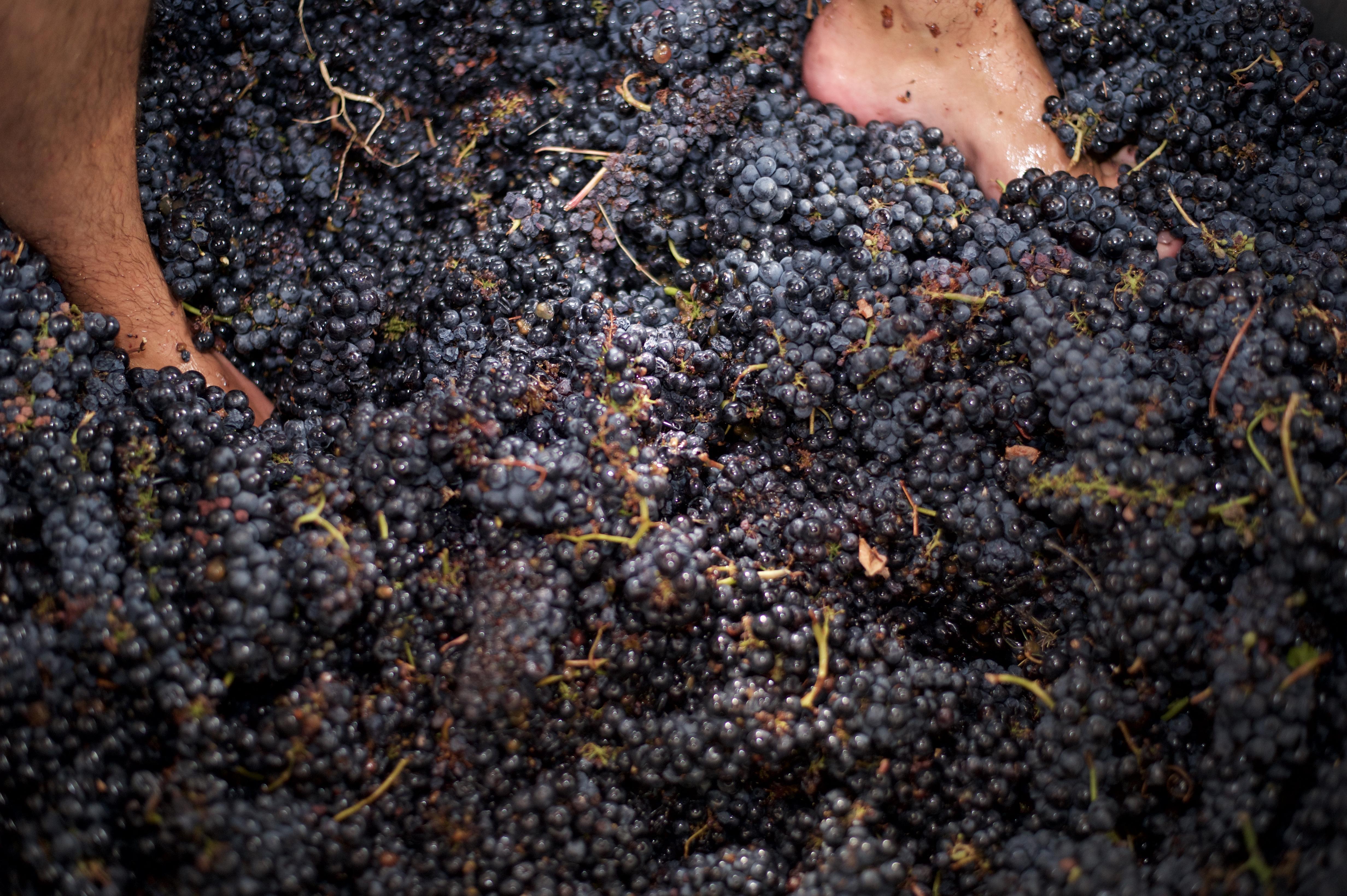 Pisar la uva una tradición ancestral